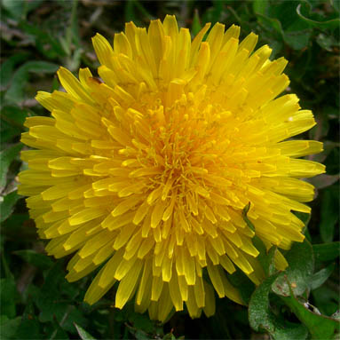 dandelion_yellow.JPG