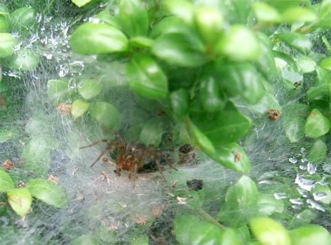 funnelweb.jpg