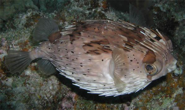 porcupinefish.JPG