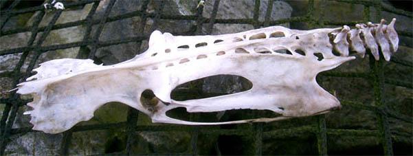 skull_catfish.JPG