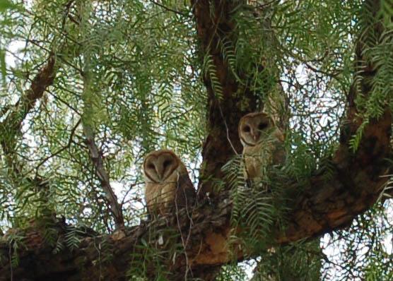 barn_owls.JPG