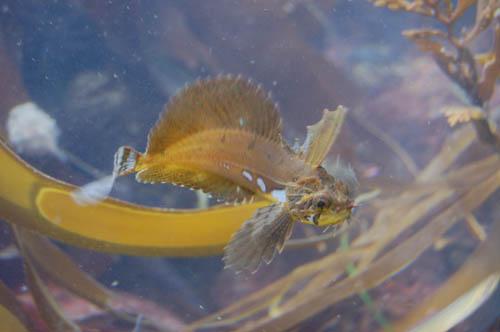kelpfish.JPG
