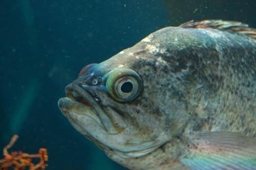 rockfishhead.JPG