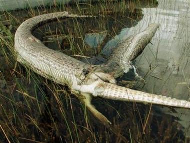gator-python.jpg