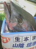 1090448672namahonmaguro_001.jpg