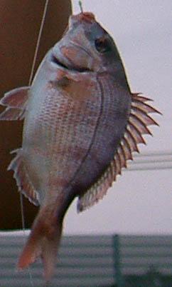 tailikefish.JPG